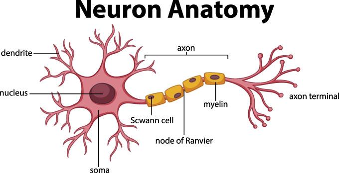 un diagrama de una neurona